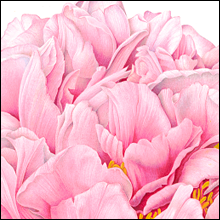 Peony - Etienne de France