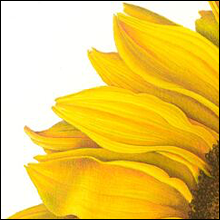Sunflower 1